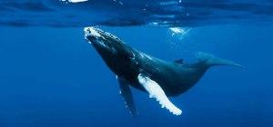Baleine, from Google image